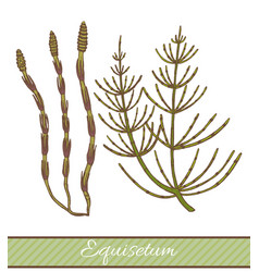 Colored equisetum in hand drawn style vector
