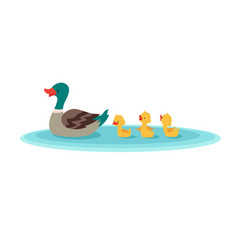 Mother duck and little ducks in water ducklings vector