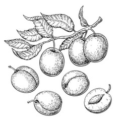 Plum drawing set hand drawn fruit branch vector