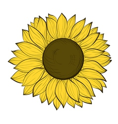 sunflower isolated on a white background vector image