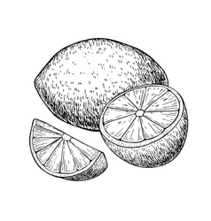 hand drawn lemon or lime fruit with sliced vector image