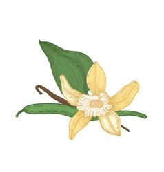 detailed botanical drawing of blooming vanilla vector image