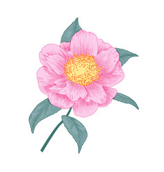 pale pink camellia semi double form flower vector image