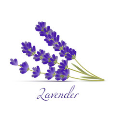 Lavender flowers in realistic style vector