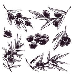 Hand drawn olive tree brunches with olives vector