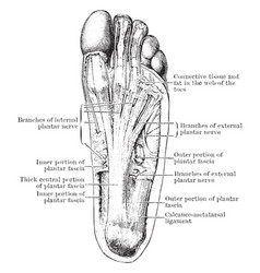 Nerves of the foot vintage vector