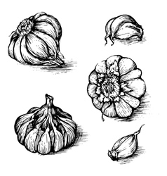 hand drawn set of garlic with cloves vector image