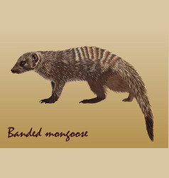 Realistic african striped mongoose vector