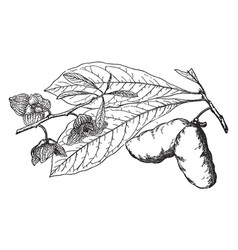 Branch of common pawpaw vintage vector