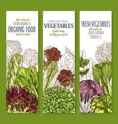 Leaf vegetable sketch banner set of salad greens vector