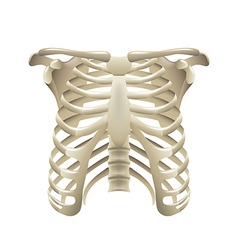 Rib cage isolated on white vector image