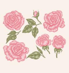 elegant pink rose flowers and leaves in vintage vector image vector image