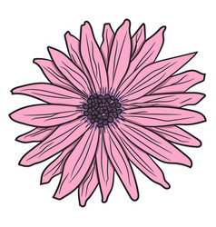 pink gerbera drawing by hand vector image
