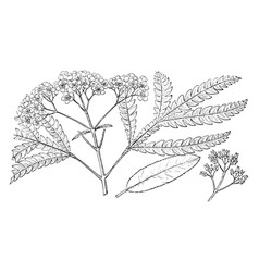Branch of lyonothamnus vintage vector