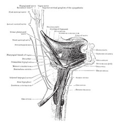 Muscles of the hyoid bone vintage vector