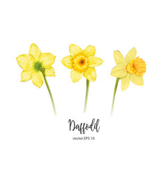 Daffodil narcissus flower set vector