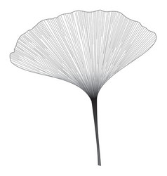 botanical series elegant single ginkgo leaf vector image