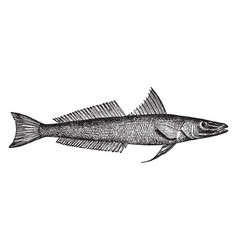 Northern whiting vintage vector