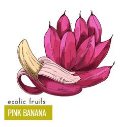 Pink bananas exotic fruit vector