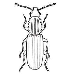 Saw toothed grain beetle vintage vector