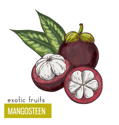 mangosteen with leaves vector image