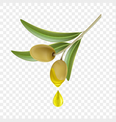 Olive branch with green berries and a drop oil vector
