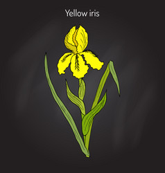 yellow iris flower or water flag or lever iris vector image