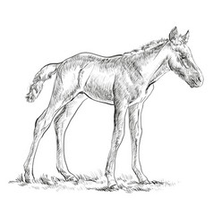 Foal hand drawing vector