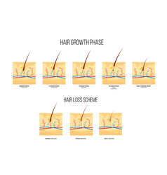 Scheme human hair loss stages and growth phase vector