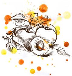 Sketch - apricot fruit vector