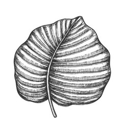 anthurium regale tropical leaf hand drawn vector image