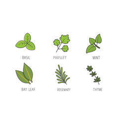 set of green herbs and branches bay leaf vector image