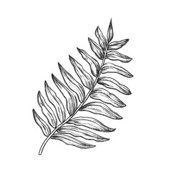 areca palm tropical exotic leaf hand drawn vector image