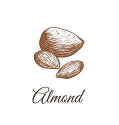 almond sketch almond nut vector image