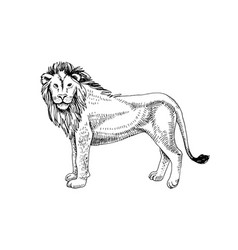 hand drawn lion vector image