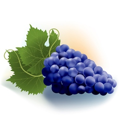 grapes dark vector image vector image