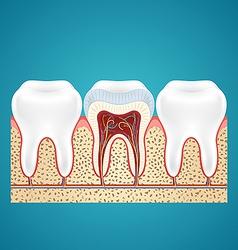 Three healthy human tooth vector image vector image