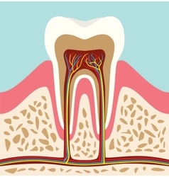 tooth teeth cell structure anatomy with flat style vector image