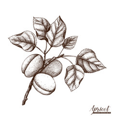 apricot vintage sketch vector image