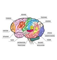 human brain function map vector image