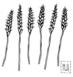 malt doodle sketsh ears of barley beer bar vector image