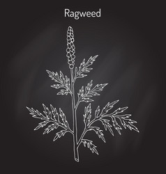 Common ragweed ambrosia artemisiifolia vector