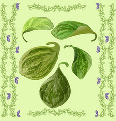Green leaves of peperomia vector