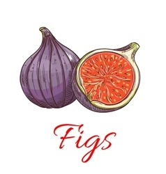 Figs fruits isolated botanical icon vector