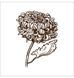 Chrysanthemum flower isolated on white vector image vector image