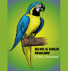 Hand drawing blue and gold macaw bird vector