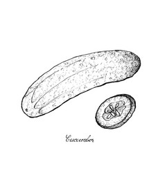 Hand drawn of fresh green cucumber on white backgr vector