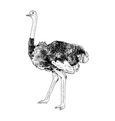 hand drawn ostrich emu vector image