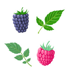 raspberry and blacberry vector image