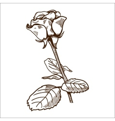 Rose flower isolated on white vector image